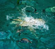 给战斗为在水身体的牺牲者的鱼喝水 免版税库存图片