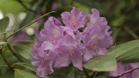 给放松和宁静的浅紫色的花柔和的开花  影视素材
