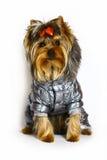 给狗冬天约克夏穿衣 免版税库存照片