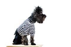 给狗约克夏穿衣 免版税库存照片