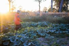 给肥料和水的农夫南瓜 库存照片