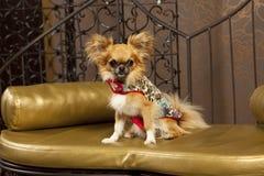 给逗人喜爱的狗方式穿衣 库存图片