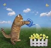 给黄色玫瑰喝水的猫 图库摄影