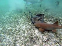 绞口鲨科和黄貂鱼在伯利兹海湾海岛  免版税库存图片