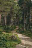 绞的足迹在杉木森林地 库存图片