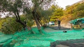 统治权,意大利- 2017年10月8日:农厂工人从树的采摘橄榄,时间间隔 收获在利古里亚的Taggiasca或Caitellier, 股票录像