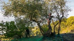 统治权,意大利- 2017年10月8日:农厂工人从树的采摘橄榄,时间间隔 收获在利古里亚的Taggiasca或Caitellier, 股票视频