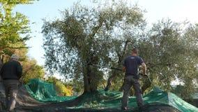 统治权,意大利- 2017年10月8日:收集在网,慢动作的农厂工人橄榄 收获在Lig的Taggiasca或Caitellier 股票录像