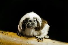 绢毛猴婴孩 库存照片