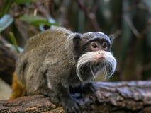 绢毛猴皇帝,Saguinus imperator subgrisescens,坐分支 免版税库存图片