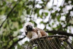 绢毛猴 免版税图库摄影