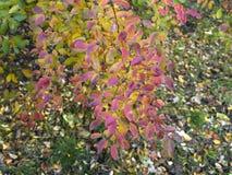 绣线菊类的植物灌木在秋天 免版税库存照片