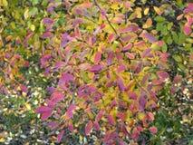 绣线菊类的植物灌木在秋天 库存图片