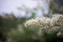 绣线菊类的植物花  免版税库存图片