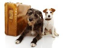 继续假期的两条狗 在葡萄酒手提箱旁边的杰克罗素和护羊狗 反对白色背景的被隔绝的射击 免版税库存照片