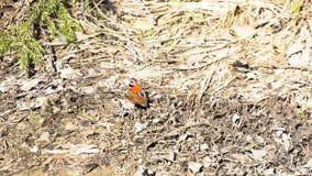 继续前进地面的小龟甲在森林里在一好日子,俄罗斯 ?? 与黑的美丽的蝴蝶和 免版税库存图片