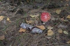 绯红色伞形毒蕈muscaria,在白桦树皮附近 免版税库存照片
