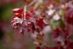 绯红色倾吐的灌木 库存照片
