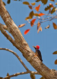 绯红色有顶饰啄木鸟 库存照片