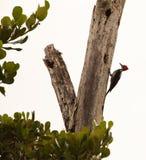 绯红色有顶饰啄木鸟 免版税库存图片