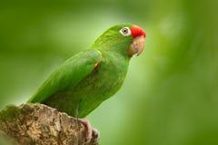 绯红色朝向的长尾小鹦鹉, Aratinga funschi,浅绿色的鹦鹉画象与红色头,哥斯达黎加的 安地斯山的鸟神鹰纵向 野生生物s 库存图片