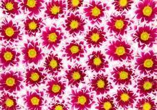 绯红色的菊花 库存图片