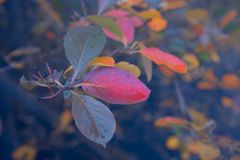 绯红色秋天分支背景与雨珠的 免版税库存照片