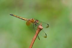 绯红色蜻蜓dropwing的女性 库存图片