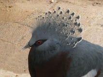 维多利亚加冠了注视着天的鸽子 免版税库存图片
