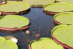 维多利亚regia是睡莲科家庭的水生植物,特点亚马逊地区 图库摄影