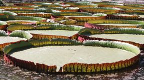 维多利亚regia是睡莲科家庭的水生植物,特点亚马逊地区 免版税库存照片