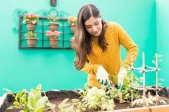 维护有机蔬菜庭院的妇女 库存图片