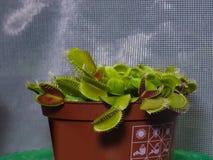 维纳斯捕蝇器或花盆特写镜头的,选择聚焦,浅DOF Dionaea muscipula肉食植物 库存图片