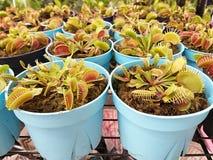 维纳斯捕蝇器 找到在低含氮环境里例如沼泽 免版税库存图片