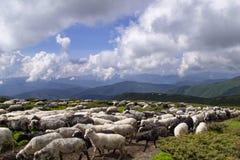 绵羊、羊羔和山羊在高地 免版税库存照片