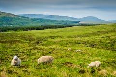 绵羊临近易碎的幽谷 免版税库存照片