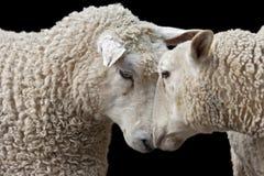绵羊二 免版税库存图片