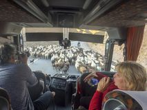 绵羊交通堵塞,吉尔吉斯斯坦 免版税库存照片