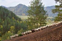 绵羊人群在阿尔泰山的在秋天 布朗、白色和绿色 免版税库存照片