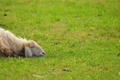 绵羊休眠 库存照片