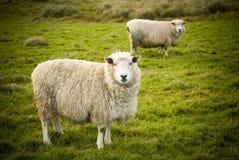 绵羊凝视 免版税库存照片