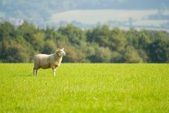 绵羊凝视 免版税库存图片