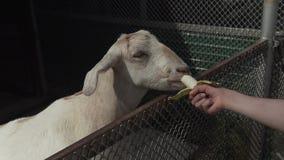 绵羊吃从儿童` s手股票英尺长度录影的香蕉 影视素材