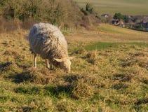 绵羊吃在领域的草 早期的春天在英国 免版税库存照片