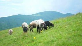 绵羊吃山吃草 影视素材
