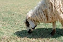 绵羊吃草吃草,在绿色领域的绵羊 免版税图库摄影