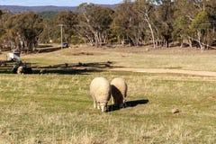 绵羊吃草在农场的,澳大利亚 免版税库存照片