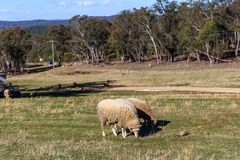 绵羊吃草在农场的,澳大利亚 免版税图库摄影