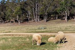 绵羊吃草在农场的,澳大利亚 库存图片