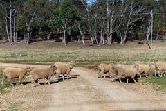 绵羊吃草在农场的,澳大利亚 库存照片